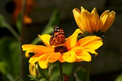 Summer Fare. A butterfly samples the pollen of a bright yellow sunflower royalty free stock photo
