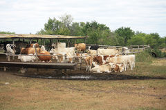 Summer farm and shed with cows. Many cows in the corral and under a canopy of trees near Stock Photography