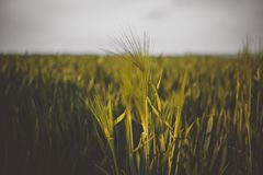 Summer farmland background with barley royalty free stock images