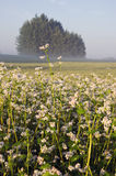 Summer farmland landscape with buckwheat blossoms and fog Stock Photo