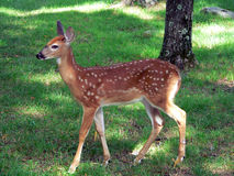 Summer Fawn. A beatiful baby fawn in the front lawn at the cabin in Promised Land, Pocono Mountains, PA Stock Photo