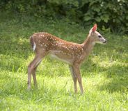 Summer fawn Royalty Free Stock Photography