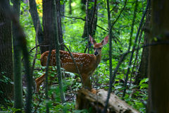 Summer Fawn. Adolescent fawn still in spots stock image
