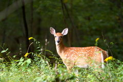 Summer Fawn 7 Stock Images