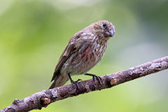 Summer Female House Finch Royalty Free Stock Image