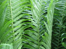 Summer Ferns. Close up of summer ferns Stock Photo