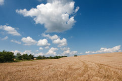 A summer field. The summer field with full grown grain stock photography