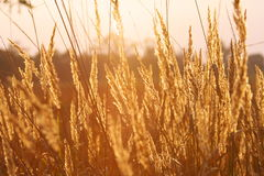 Summer Field. At sunset, summer field close up Royalty Free Stock Photos