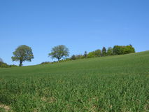 Summer Field. Crops in summer royalty free stock photo