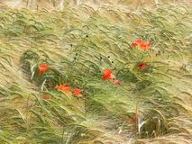 Summer field. With blooming poppies an grain royalty free stock photography