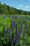 Summer field with blooming lupines stock photo