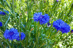 Summer field from blue cornflower Royalty Free Stock Images