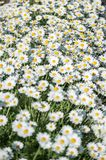 Summer field of camomile flowers blossom. Selective focus. A Summer field of camomile flowers blossom. Selective focus royalty free stock photo