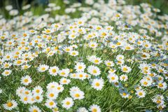 Summer field of camomile flowers blossom. Selective focus. A summer field of camomile flowers blossom. Selective focus stock image