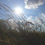 Summer field. Closeup on grass in summer with sun in background Royalty Free Stock Images