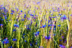 Summer field with cornflowers Stock Images