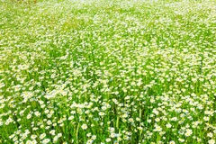 Summer field of daisies Stock Photo