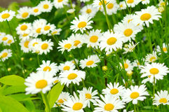 Summer field of a daisies Royalty Free Stock Image