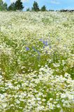 Summer field with daisies Royalty Free Stock Images