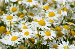 Summer field with daisies Stock Photos