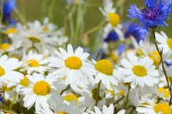 Summer field with daisies Royalty Free Stock Photography
