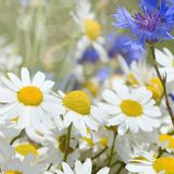 Summer field with daisies Royalty Free Stock Image