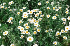 Summer field of daisies stock images
