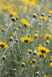 Summer field of daisies Stock Photos