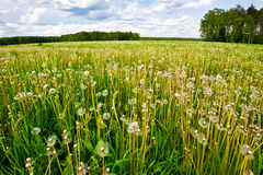 Summer field with dandelions Royalty Free Stock Image