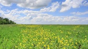 Summer field with delicate yellow flowers swaying in wind. Beautiful colorful summer field with yellow flowers swaying in wind under blue cloudy sky stock footage