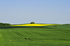 Summer Field in Denmark Royalty Free Stock Photo
