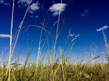 Summer field. Ears of corn on the summer field and deep blue sky with clouds stock photography