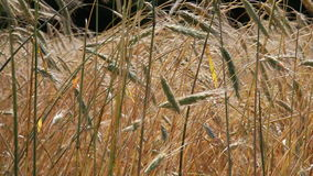 Summer field, ears of rye swaying in wind Royalty Free Stock Photography