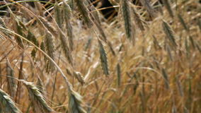 Summer field, ears of rye swaying in wind Royalty Free Stock Image