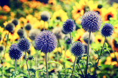 Summer field with echinops Royalty Free Stock Photo