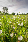 Summer field in evening. Evening in the summer field with dandelion royalty free stock photography