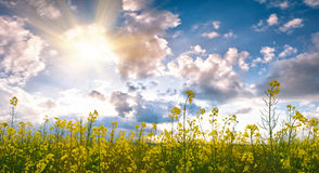Summer field with flower. And sunlight in blue sky Stock Photography