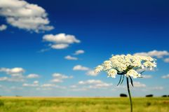 Summer Field and Flower. A blues sky above a sumer field Royalty Free Stock Images