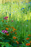 Summer Field of Flowers Royalty Free Stock Photography