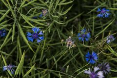 Summer field flowers in the field cornflower. royalty free stock photo