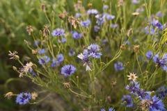 Summer field flowers in the field cornflower. royalty free stock photos