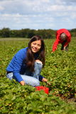 Summer field girl working picking strawberries. Young worker woman picking strawberries on a farm in Denmark Royalty Free Stock Photo