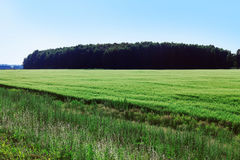 Summer field of grass Royalty Free Stock Photo