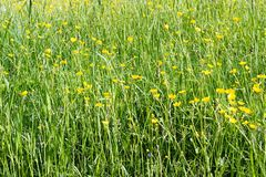 Summer field with high juicy grass and yellow tall buttercups. Field flowers and tall grass on summer field royalty free stock image
