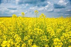 Summer field landscape, yellow rapeseed flower Stock Photo