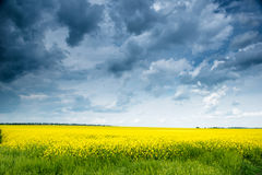 Summer field landscape, yellow rapeseed flower Stock Images