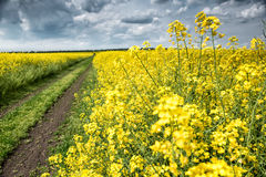 Summer field landscape, yellow rapeseed flower Royalty Free Stock Photography