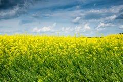 Summer field landscape, yellow rapeseed flower Stock Image