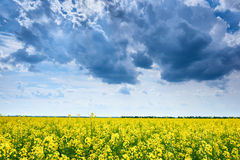 Summer field landscape, yellow rapeseed flower Royalty Free Stock Photos