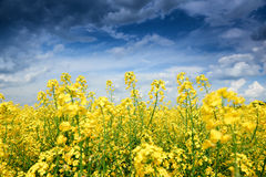 Summer field landscape, yellow rapeseed flower Royalty Free Stock Image